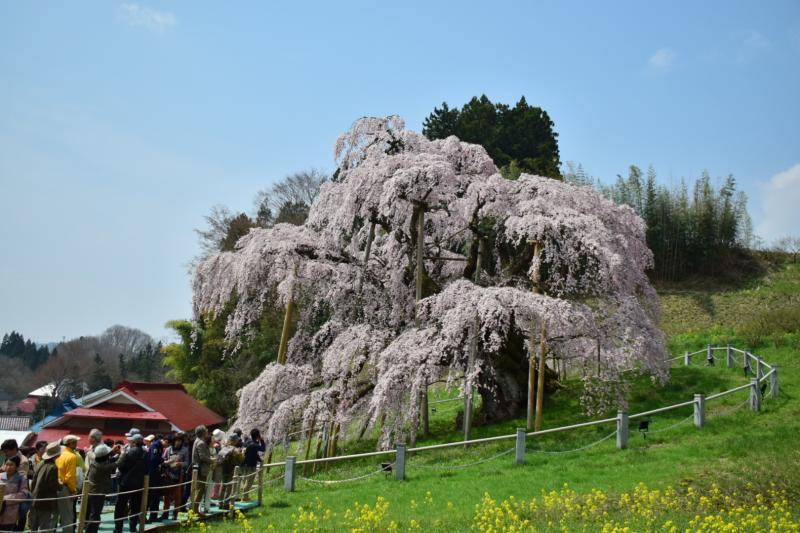 菜の花と滝桜